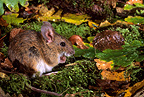 Yellow-necked mouse (Yellow-necked mouses)