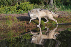 grey wolf walking beside a pond Montana USA (Grey wolf)