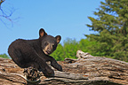 Young Black Bear 4 months lying on a trunk USA (Black bear )