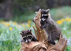 Young raccoons playing on a stump Montana USA� (Raccoon)