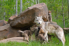 Wolf and youth to their den Minnesota USA� (Grey wolf)