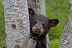 Young Black Bear 4 months climbing into a tree USA� (Black bear )
