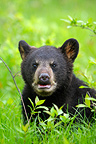 Young Black Bear 4 months in grass USA� (Black bear )
