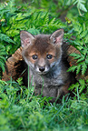 Young Red Fox coming out of a hole in a stump GB� (Red fox)
