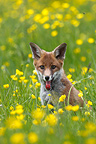 Young Red Fox sitting in a flowering meadow GB� (Red fox)