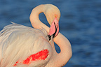 Flamingo grooming Pont de Gau Camargue�France (Greater Flamingo)