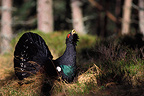 Capercaillie displaying in forest Scotland (Western Capercaillie)