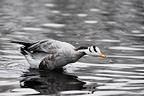 Bar-headed Goose wallowing in the water France (Bar-headed Goose)
