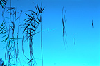 Reeds and reflection at dusk�