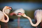 Greater Flamingos fighting Pont du Gau Camargue France (Greater Flamingo)