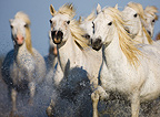 White Camargue horses running in swamp Camargue France (Camargue horse)