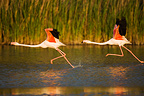 Greater Flamingos taking off from lagoon in Camargue France (Greater Flamingo)
