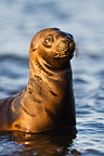 Southern sea lion  pup looking for mother Valdes Peninsula (Southern sea lion )