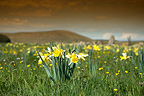 Meadow with Daffodils in bloom in spring Auvergne France