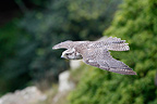 Gyr falcon in flight (Gyr Falcon)