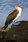 Blue-footed Booby on a rock Isabella Galapagos  (Blue-footed Booby)