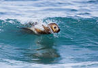 Southern sea lion surfing in wave Valdes Peninsula Argentina (Southern sea lion )
