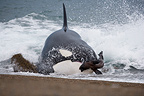 Killer whale attacking southern sea lion pup in water (Orca)
