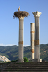 Stork in nest in Roman ruins of Volubilis Morocco (White Stork)