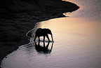 Elephant at watering place Chobe National Park  (African elephant)