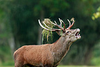 Red Deer  bellowing in a wood covered with vegetation France (Red deer)