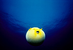Guieafowl Pufferfish inflated with water in open ocean (Guineafowl puffer fish)