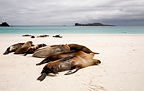 Galapagos sea lions resting on a sandy beach Española (California sea lions)