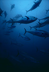 Giant (northern) Bluefin Tuna swimming within the tuna net  Italy (Northern bluefin tuna)