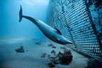 Bottlenose Dolphin inspects net Red sea Israel (Bottlenose dolphin )