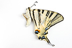 Scarce Swallowtail dead on white background