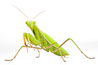 Praying Mantis on white background (mantis)
