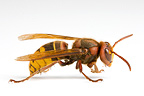 European Hornet on white background (wasp)