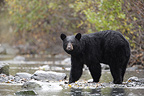 American Black Bear fishing Salmon in a river Alaska (Black bear )