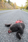 Brown Bear crashed on a highway by a car in Alaska (Brown bear)