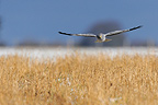 Northern Harrier male flying and searching of prey (Northern Harrier)