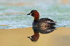 Little Grebein breeding plumage after a dive France (Little Grebe)