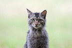 Portrait of a Wild cat in the rain in spring France (Wildcat)