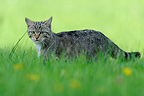 Wild cat in a meadow in summer France (Wildcat)