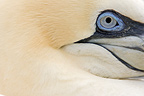 Eye of Northern Gannet Ireland  (Northern Gannet)