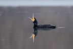 Great Cormorant swallowing prey Val d'Allier NR France (Great Cormorant)