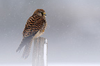 Common Kestrel on a pole on the lookout in the snow, France