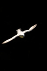 Fulmar in flight Ireland (Northern Fulmar)