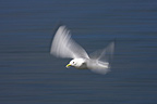 Kittiwake in flight above the sea Ireland� (Kittiwake)