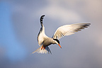 Tern in Flight Ireland  (Common tern)