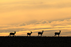 Group of European Roe at dusk in winter in Champagne France (Roe deer)