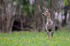 Roe deer in the coat moult foraging in a meadow  France (Roe deer)