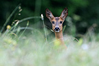 Portrait of a Roe in the tall grass France (Roe deer)