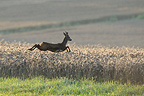 Roebuck fleeing in a grain field in summer (Roe deer)