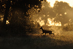 Roe walking in a meadow at sunrise France (Roe deer)