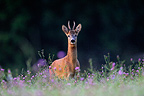 European Roe Deer in the flowers of clover in August  (Roe deer )